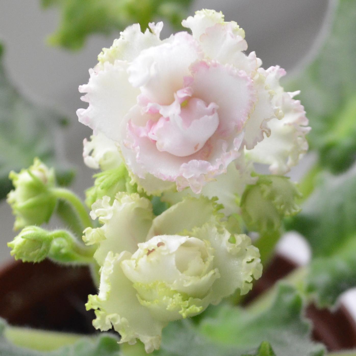 Ав плетистая роза фиалка фото и описание